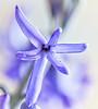 Hyacinth (Anvilcloud) Tags: flower hyacinth macro springflowers