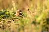 20171215_Montigny-sur-Loing_Pinson des arbres (thadeus72) Tags: aves birds commonchaffinch fringillacoelebs fringillidae fringillidés oiseaux passériformes pinsondesarbres