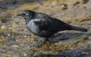 Rusty Blackbird Male