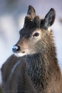 Snow nose deer