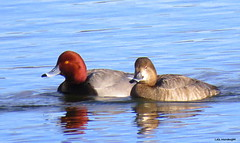 Mr. & Mrs. Redhead (Lois McNaught) Tags: redhead duck bird avian waterfowl nature wildlife hamilton ontario canada reflection reflections