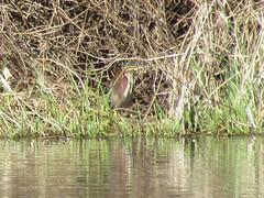 Green heron - Brydon Lagoon (elTwister) Tags: green heron butorides virescens
