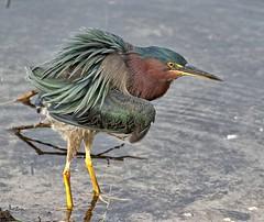 C'mon Baby, Lets Do The Twist (Darts5) Tags: green greenheron heron herons bird birds ef100400mmlll 7d2 7dmarkll 7dmarkii 7d2canon closeup canon7d2 canon7dmarkll canon7dmarkii canon canonef100400mmlii