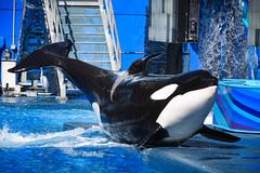 Dame (CetusCetus) Tags: seaworld orlando florida swf seaworldorlando orca killerwhale whale dolphin cetacean shamu shamushow oneocean katina