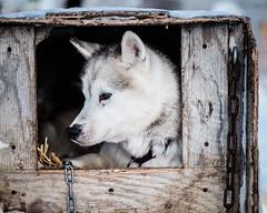Arctic sled dog (Kristaaaaa) Tags: animals arctic dog dogs fur huskey portrait sleddog snow tuktoyaktuk winter canada black white northwestterritories north closeup close 56mm fuji fujifilm fujixt2 fujilove fujinon xf