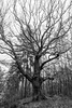 Very old (Petr Sýkora) Tags: dub les strom tree forest nature eldery bw dramatical photography one