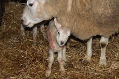 New Life  , taken immediately after birth (excellentzebu1050) Tags: newlife newborn twins birth lamb sheep animal closeup farm indoors livestock lambbirth coth5