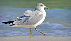 STRUTTING ALONG THE SHORE (Wolf Creek Carl) Tags: seagull shore shorebirds wildlife winter animals ocean beach stgeorgeisland statepark stgeorgeislandstatepark florida greatphotographers