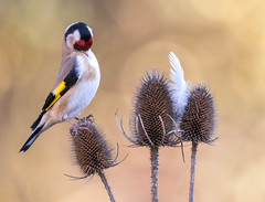 """""""QUICK....take the Bl**dy shot ...I can't hold this pose any longer..!!!!"""" (trevorwilson1607) Tags: goldfinch extremepreening lol whenyouleastexpectit"""