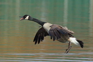 Goose in flight_339A2546