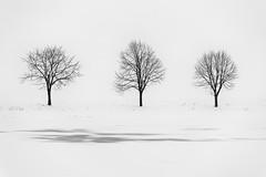 0714 The Three Trees II (Hrvoje Simich - gaZZda) Tags: winter outdoors noperson white monochrome blackwhite slavonia frozen croatia europe nikon nikond750 sigma150500563 hrvojesimich gazzda