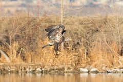 Bald Eagle fishing attempt 1 - 10 of 16