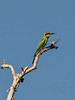Rainbow Bee-eater (Merops Ornatus) (Arturo Nahum) Tags: australia aves animal arturonahum ave airelibre birdwatcher bird birds wildflife wild nature naturaleza naturephotography pajaro pajaros
