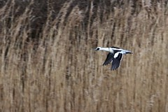 Drake Smew in flight (Mergellus albellus) (GrahamParryWildlife) Tags: grahamparrywildlife sigma 150600 sport 150 600 canon 7d mkii outdoor animal depth field mk2 uk kent rspb viewing photo flickr add new sunlight up blue dof kentwildlife dungeness sky feathers wings eye reeds cover timid bird pandaeye smew male scarce rare uncommon sawbill duck water lake red head sea ocean waterfowl
