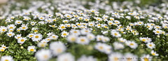Daisies in a garden (nathantw) Tags: daisy daisies flowers plants garden weeds gigapan epicpro hasselblad 553elx 120mm makro planar cf f4 phaseone p25 digital vseries nathantw nathantwong panorama