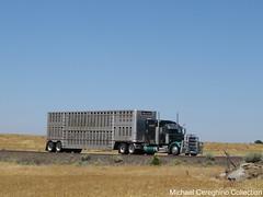 "Peterbilt 379 pulling for ""Nelson"" (Michael Cereghino (Avsfan118)) Tags: nelson cattle livestock peterbilt pete model 379 bullwagon bull rack wagon truck trucking"