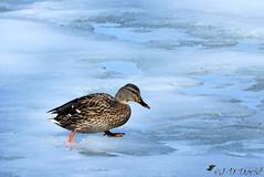 J'espère que je ne vais pas passer à travers :o) (Jean-Daniel David) Tags: oiseau oiseaudeau canard colvert réservenaturelle glace gel lac lacdeneuchâtel yverdonlesbains nature animal froid