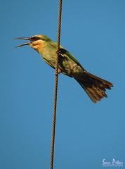 hunger (Sam Petar) Tags: animale adobe baghdad blue bird green iraq nikon natural p510 sky summer