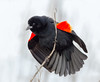 Territorial Display (tresed47) Tags: 2018 201803mar 20180306bombayhookbirds birds blackbird bombayhook canon7d content delaware folder march peterscamera petersphotos places redwingblackbird season takenby us winter