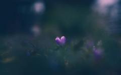 purple.heart (_andrea-) Tags: purpleheart sonya7m2 carlzeiss objektiv outdoor mount planart1450 lowpov love crocus krokusse moody shine light bokeh bokehshots bokehs bokehjunkie earlyspring
