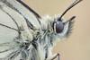 "Melanargia galathea (tomaszhalota ""tomir"") Tags: nikon d7100 venuslaowa60mmf28ultramacrolens melanargia galathea closeup butterfly naturallight nature macro stack"