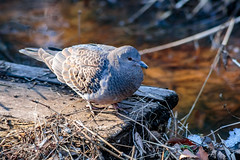 Japanese turtle dove beside a stream (Hanstography) Tags: nature japan dove bird animal orientalturtledove streptopeliaorientalis wild pigeon japanese margin forest daytime wildlife suburb easternturtledove copyspace one outdoor color lovely town pretty space solo nobody background foliage feathers tree closeup grove woods park outdoors grey beauty natural plumage spotted snow winter