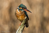 Female Kingfisher (Lorraine Culloch) Tags: fishing kingfisher montrose basin