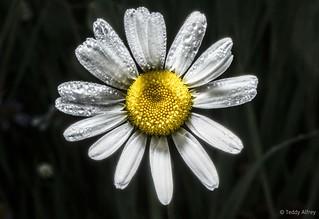 Rocky Mountain Daisy