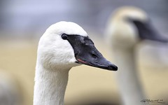 Swan 05 (G. Maxwell) Tags: zuiko winter swans waterfowl toronto scarborough ontario lakeontario places olympus olym300mmf40 em1mkii 2018 portrait scarboroughbluffs
