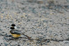 Black-capped Chickadee 3 (Magicgrapher) Tags: pier chickadee habitat67 habitat angrignon park vieuxport montreal blackcapped