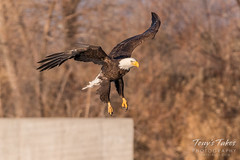 Bald Eagle makes the catch - 10 of 33