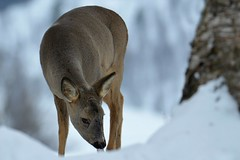 rådyr ( capreolus capreolus) (KvikneFoto) Tags: rådyr roedeer natur norge hedmark kvikne snø winter vinter tamron nikon bokeh