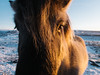 Icelandic Horse (BurlapZack) Tags: olympustoughtg5 vscofilm pack01 iceland southernregion is icelandichorse closeup face horse pony furryhorse eyes eyeballs animal critter creature roadtrip vacation travel nature winter snow ice wideangle pointandshoot compact digitalcompact advancedcompact waterproofcamera waterproofcompact toughcompact raw availablelight sunlight sunset daytime daylight hair hairs