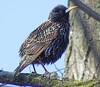 A Starling Portrait (kendoman26) Tags: starling bird fuji fujifinepix fujifinepixs1 bridgecamera