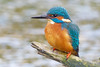 Kingfisher (drbut) Tags: kingfisher alcedoatthis rivers streams water canal avian bird birds nature wildlife canonef500f4lisusm