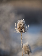 Désarmé contre le froid * (Titole) Tags: cardère teasel titole nicolefaton frost frosted shallowdof cold