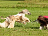 CoursingVillaverla2016w-035 (Jessica Sola - Overlook) Tags: dogs sighthounds afghanhounds greyhounds saluki barzoi italiangreyhounds irishwolfhounds lurecoursing lure race run dograces field greengrass