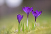 Crocus (michel1276) Tags: konica13525 konica crocus krokus makro macro flower flowers blumen frühling spring springflowers hexanon bokeh bokehlicious