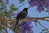 _DSC5691. Purpurkappesolfugl (Berit Christophersen) Tags: purpurkappesolfugl tacazzesunbird sunbird solfugl nectariniatacazze bird etiopia ethiopia africa afrika sonyalpha axum