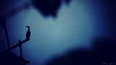 Blue Silhouette (the_yellow) Tags: bangalore bengaluru karnataka india water madiwala lake madiwalalake sonyslta58 sony alpha a58 sonyalpha sonya58 morning blue bird birds waterbird cormorant wings