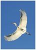 White Egret in Flight (docsunny) Tags: white egret ardea alba flight