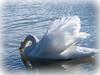 Cygne (somareja*pictures) Tags: berneroberland olympusem10 olympusdigital thunersee cygne schwan flickr markusreber somarejapictures