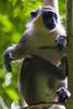 DUV_0762r (crobart) Tags: green monkey welchman hall gully barbados caribbean island jungle