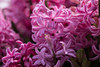 It smells like spring (Irina1010) Tags: hyacinth flower pink fragrant spring 2018 nature fullframe canon ngc coth5