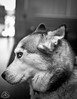 _DSC0076 (classic77) Tags: black and white bw monochrome siberian husky dog canine shy coy k9