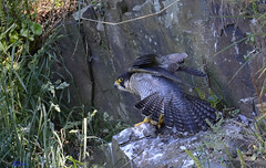 Peregrine Falcon (f). (having a stretch). (spw6156 - Over 6,404,003 Views) Tags: peregrine falcon f having stretch looking forward this years season copyright steve waterhouse