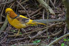 Yellow Golden Pheasant 2, Birds of Eden, Plettenberg Bay (Peter Cook UK) Tags: garden route eden chrysolophus pictus south golden bay birds tour plettenberg yellow africa pheasant