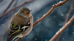 Last snowflakes (Jean-Luc Peluchon) Tags: neige flocon snow fz1000 lumix oiseau bird branche arbre branch wild wildlife faune