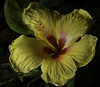 Yellow And Red Hibiscus (Bill Gracey 17 Million Views) Tags: hibiscus yellow red fleur flower flor yongnuo yongnuorf603n lastoliteezbox softbox hawaii sidelighting nature naturalbeauty floralphotography