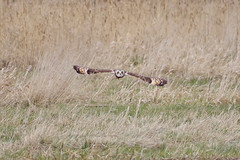 Low (Hugobian) Tags: short eared owls owl nene washes bird birds nature wildlife fauna pentax k1 flight wings feathers